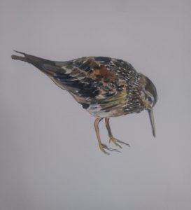 The Purple Sandpiper by Francine Davies Art, Acrylic Ink Sketches
